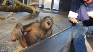 Ουρακοτάγκος «ξεράθηκε» στα γέλια... (video)