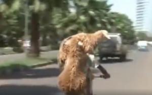 Απίστευτο και όμως αληθινό: Τρικάβαλο με δύο πρόβατα! (video)