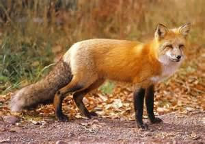 Αλεπού ταΐζει μικρά ορφανά αρκουδάκια! (video)