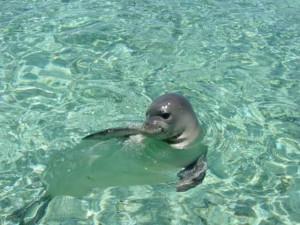 Φώκια επισκέφτηκε το λιμάνι της Νάξου! (video)