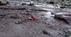 Χταπόδι βγήκε... βόλτα στη στεριά και επιστρέφει στη θάλασσα (video)