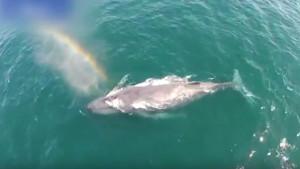 Απίστευτο: Φάλαινα εκτοξεύει νερό και δημιουργεί... ουράνιο τόξο (video)