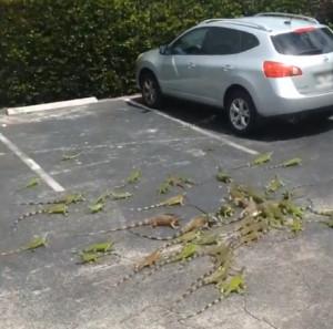 Γέμισε ένα... πάρκινγκ ιγκουάνα (video)