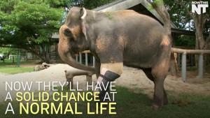Ελέφαντας με τρία πόδια, περπάτησε ξανά... (video)