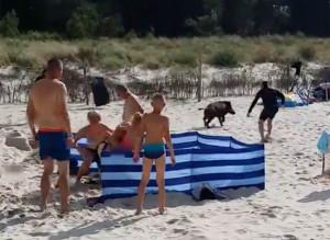 Αγριογούρουνο βγαίνει από τη θάλασσα τραυματίζοντας τους λουόμενους (video)