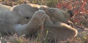 Το απίθανο παιχνίδι και η αγκαλιά μιας λιονταρίνας στο μωρό της (video)