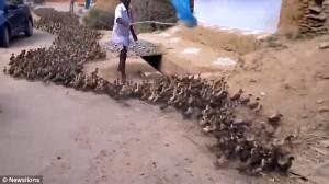 Απίστευτο! Καθοδηγεί χιλιάδες πάπιες με ένα καλάμι! (vid)