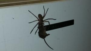 Αηδιαστικό: Δείτε μεγάλη αράχνη να τρώει αρουραίο (vid)
