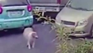 Άνδρας παρασέρνει σκυλί με το αμάξι του επειδή δεν τον άφηνε να περάσει (vid)