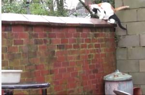 Γάτες συγχρονίζονται στα άλματά τους (video)