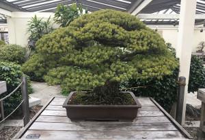 Το δέντρο που επέζησε από την ατομική βόμβα της Χιροσίμα (photos)