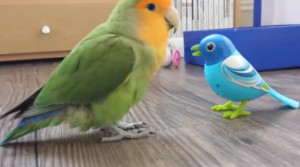 Παπαγάλος... τρελαίνεται με ψεύτικο παπαγαλάκι (video)