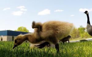 Η μαμά χήνα έβγαλε βόλτα τα παιδιά της στο γρασίδι... (Video)