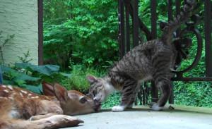 Τι συμβαίνει εδώ; Δείτε την αντίδραση μιας γάτας όταν βρίσκει στην πόρτα της ένα ελαφάκι (video)