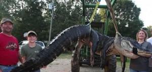 Επιασαν ένα τεράστιο αλιγάτορα. Αυτό που έβγαλαν απ' την κοιλιά του δεν το φαντάζονταν ποτέ (video)