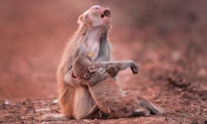 Απίστευτη σκηνή: Μητέρα μαϊμού χάνει το παιδί της και γονατίζει από τα δάκρυα ώσπου αυτό βρήκε τις αισθήσεις του