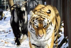 Τίγρης σκότωσε φύλακα σε ζωολογικό κήπο! (Video)