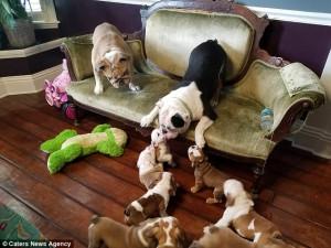Μπουλντόγκ τρέχει μαζί με τα 9 κουτάβια του μέσα στο σπίτι (video)