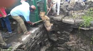 Λιονταράκι σώθηκε μετά από ώρες σε μια τρύπα (video)