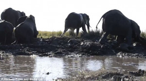 Ελεφαντάκι παγιδεύτηκε στη λάσπη από την ίδια του τη μαμά (video)