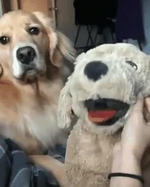 Σκυλί ζηλεύει το λούτρινο σκυλάκι που πήρανε οι ιδιοκτήτες του και το δείχνει (video)