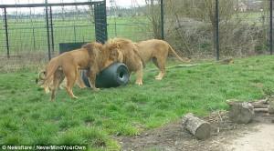Λιοντάρι κολλάει το κεφάλι του μέσα σε κουβά (video)