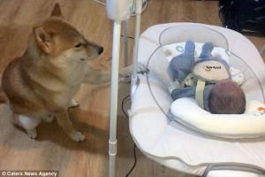 Σκύλος προστατεύει το νεογέννητο μέλος της οικογένειας (video)
