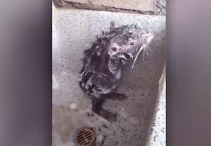 Αρουραίος παίρνει το... μπάνιο του σαν άνθρωπος και ρίχνει το διαδίκτυο (video)