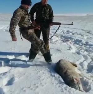 Πλησίασε το λύκο νομίζοντας ότι είναι νεκρός και αυτός άρχισε το κυνήγι (video)