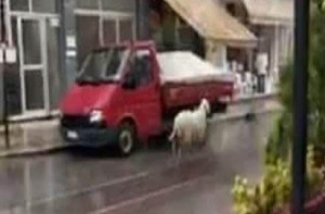 Πρόβατο βγήκε στους δρόμους της Θεσσαλονίκης και παραλίγο να τρακάρει με αυτοκίνητο (video)