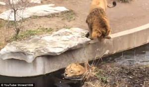 Λιοντάρι δεν βρίσκει ισορροπία και σκοντάφτει μέσα στη γούρνα με το νερό (video)