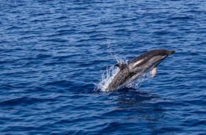 Σκύρος: Δελφίνι βγαίνει στα ρηχά για παιχνίδι (video)