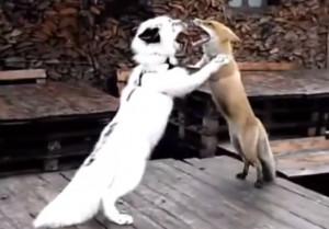 Ξεκαρδιστικό: Τανγκό για… αλεπούδες! (video)