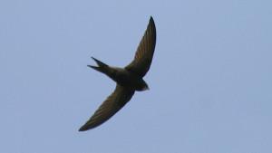Αυτό το πουλί ανακηρύχθηκε επισήμως το ταχύτερο στη Γη (pics+video)