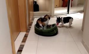 Σκύλος εναντίον γάτας - Δείτε τι κάνει για να της... πάρει το κρεβάτι! (video)