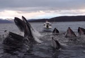 Θα πάθεις πλάκα... Απίστευτη συνεργασία από φάλαινες για να πιάσουν την τροφή τους (video)