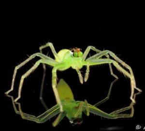 Σπάνια αράχνη βλέπει τον αντικατοπτρισμό της και… τρελαίνεται (video)