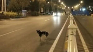Σκύλος παραμένει στο σημείο που πέθανε ο φίλος του για 80 ημέρες (video)