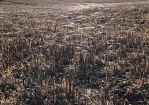 Γιγαντιαία «φωλιά» από αράχνες προκαλεί τρόμο (video)