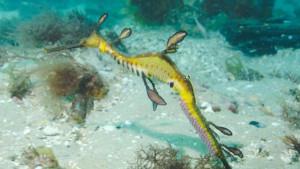 Σπάνιο θέαμα ! Αρσενικός θαλάσσιος δράκος μεταφέρει τα αυγά του θηλυκού (video)
