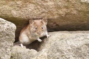 Ποντίκι-νίντζα απέφυγε με εναέρια κλωτσιά επίθεση φιδιού (video)