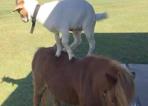 Ξεκαρδιστικό! Κατσίκα κάνει βόλτες στην πλάτη ενός πόνυ (photos+video)