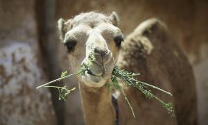 Γυναίκα δάγκωσε τα γεννητικά όργανα καμήλας! (photo)