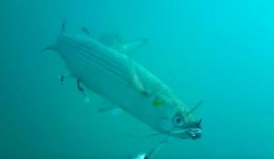 Ψάρεμα: Δόλωσε ζωντανό κέφαλο και τον έριξε στο βυθό! Δείτε τι θα τον καταπιεί ολόκληρο... (video)