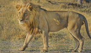 Εκατό αγριεμένα βουβάλια πήραν στο κυνήγι ένα λιοντάρι - Απίστευτο αυτό που έκανε για να γλιτώσει (photos)