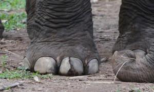 «Το πόδι του ελέφαντα»:Αυτό είναι το τοξικότερο αντικείμενο στον κόσμο - Πεθαίνεις μόλις το αγγίξεις