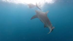 Ψαράδες πιάνουν τεράστιο ξιφία! Λίγο πριν τον σηκώσουν εμφανίζεται καρχαρίας και... (video)