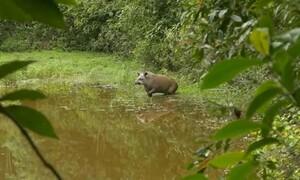 Γεννήθηκε τάπιρος σε δάσος της Βραζιλίας, απ' όπου είχαν εξαφανιστεί το 1914...