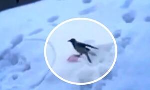 Τρελό γέλιο! Κοράκι βρίσκει πλαγιά με χιόνι - Δεν φαντάζεστε πώς την κατεβαίνει (video)