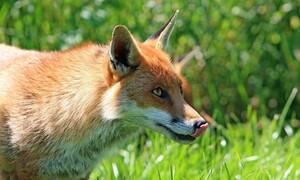 Είδαν στην κάμερα μία αλεπού να πλησιάζει την πόρτα - Αυτό που έγινε δεν υπάρχει (video)